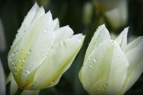 drops of water on white tulips