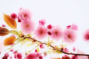 background of pink cherry flowers