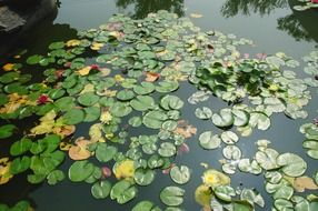 colorful waterlilies on pond, autumn