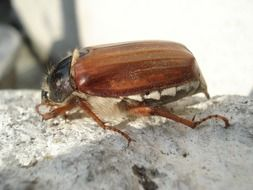cockchafer, maybug, side view