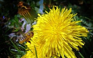 yellow dandelion flower closeup