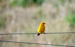 yellow canary on a wire in the air