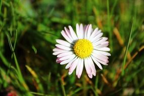 daisy, pink and white flower in grass