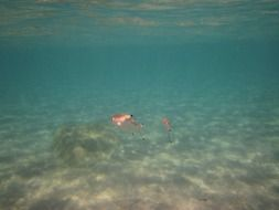 two pink fish underwater