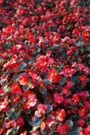 ice begonias flowers red flora N3
