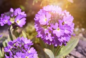 purple flower of a primrose
