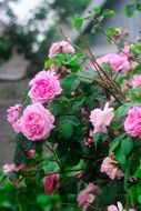 growing bush with roses in the garden