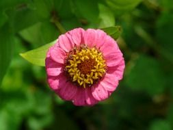 Pink Zinnia on the stalk