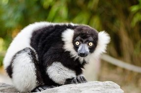 black and white ruffed lemur mammal