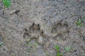 two prints of paws in the mud
