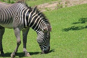 zebra eating grass at the zoo