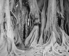 Black and white photo of tree roots