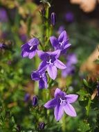 purple bells on a stalk