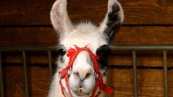 llama head in red bridle