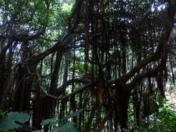 tropical jungle lianas plants