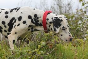 Beautiful dalmatian dog