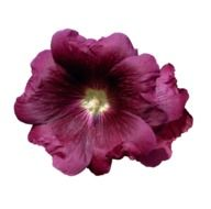 burgundy mallow on white background
