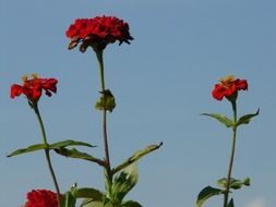 red zinnias on a high stalk