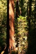 redwood american giant trees california