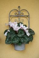 cyclamens as decoration on the wall