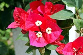 three marys, bougainvillea blooming plant