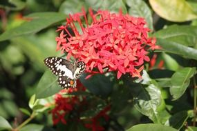 black white butterfly on a red flower