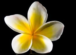 white and yellow west indian plumeria