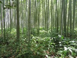 photo of bamboo forest in Kyoto, Japan