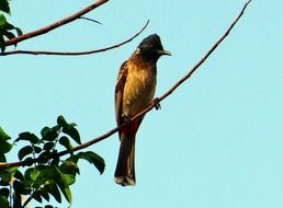 Pycnonotus cafer or red vented bulbul