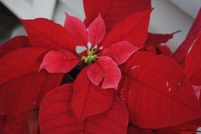 red christmas flower closeup