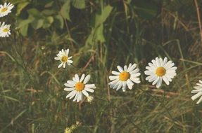 white daisies at grass