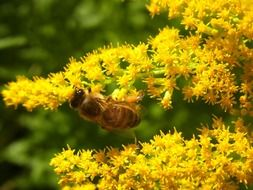 Honey bee on a branch with yellow flowers