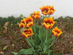 growing colorful tulip flowers in the garden