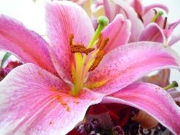 pink lily flower blooming