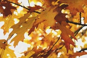 autumn yellowed maple leaves