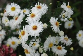 white summer daisies close-up