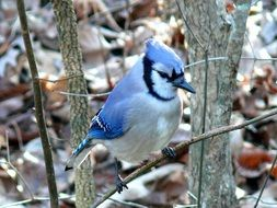 irresistible blue jay bird