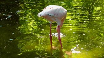 Pink flamingo in water