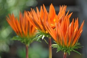 three orange flowers with pointed petals