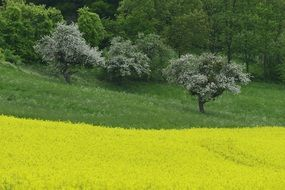 yellow field of rapeseed at green forest