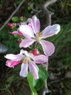 pink flowers on apple tree close-up