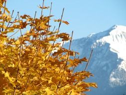 maple tree on the mountain background