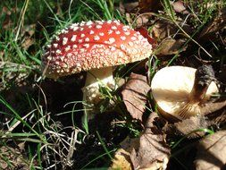 fly agaric mushroom in autumn foliage