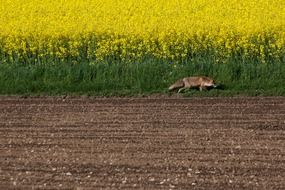 red fox near the yellow field