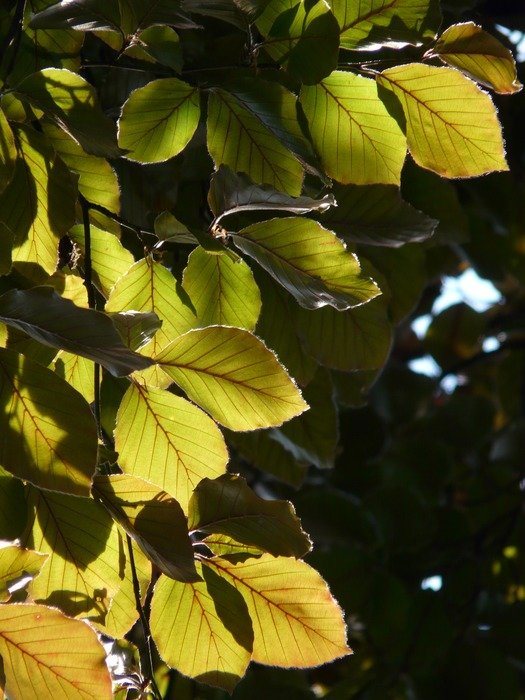 green beech leaves in the glare of light