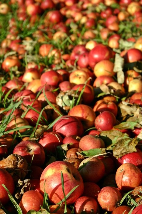 apple harvest on the grass