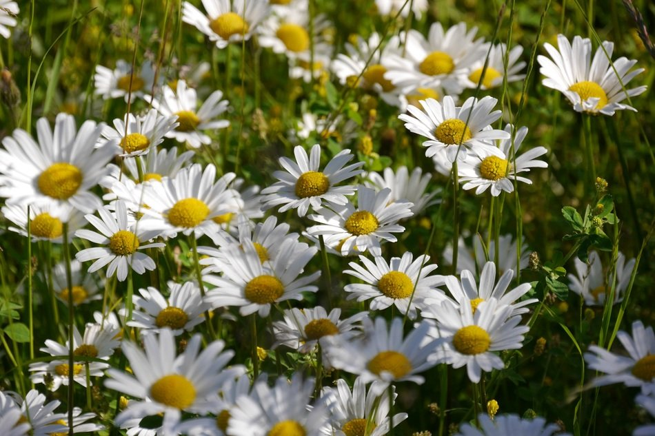 a cluster of white daisies on a field in the garden