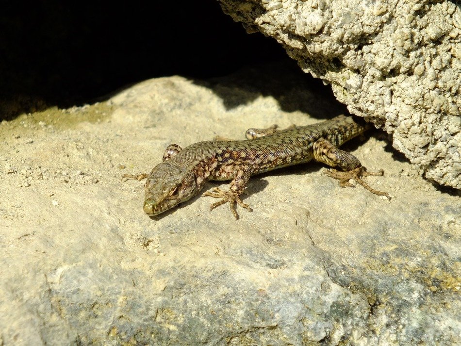lizard between rocks