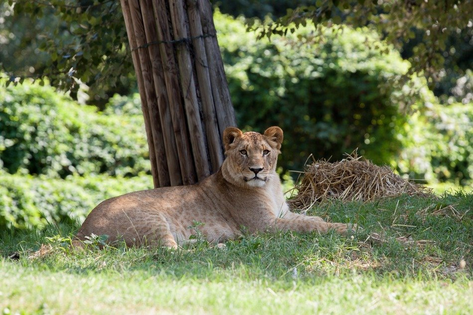 lioness in national nature park