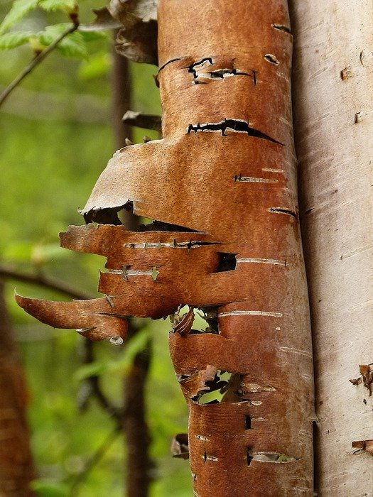 nature birch bark